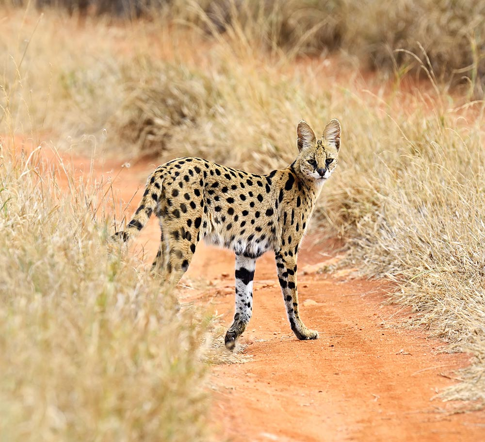 Serval im Tsavo Nationalpark